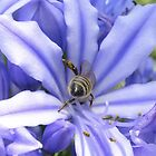 Agapanthus and bee by stevenwells