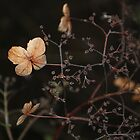 Dried Out Climbing Hydrangea  by Karen Martin IPA