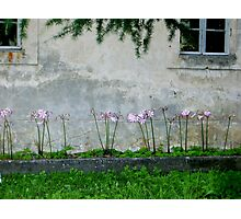pink ladies Photographic Print