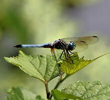 Blue Dragonfly by SuddenJim
