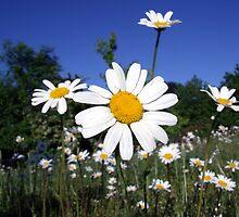 a daisy meadow by adam63745