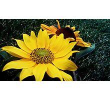 sunflowers  Photographic Print