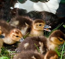 Baby Ducks by Photography by TJ Baccari