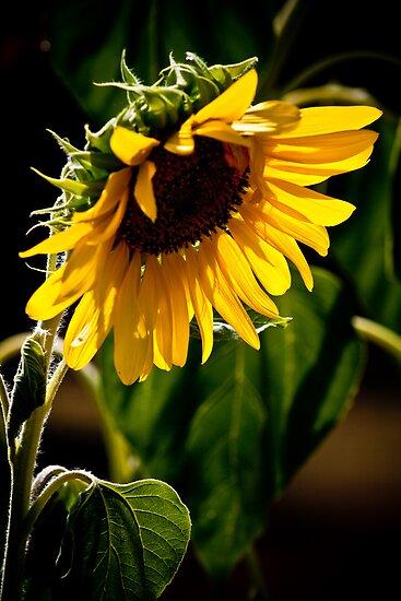 Summer Sunflower by Sharlene Rens
