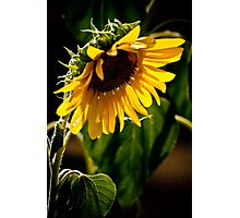 Summer Sunflower Photographic Print