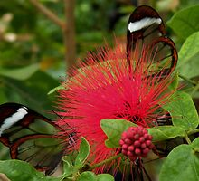 GlassWing Butterflies by AnnDixon