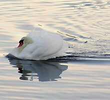 Graceful Swan by RuthMoore