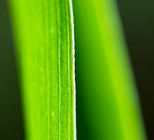 Blades of Grass by DLPhoto