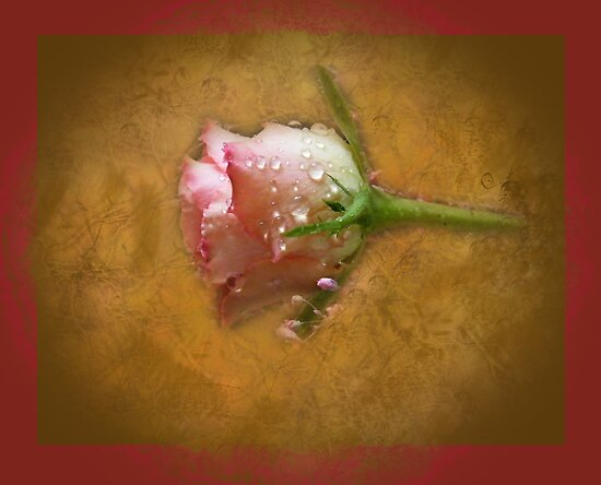 faded rose by Joyce Knorz