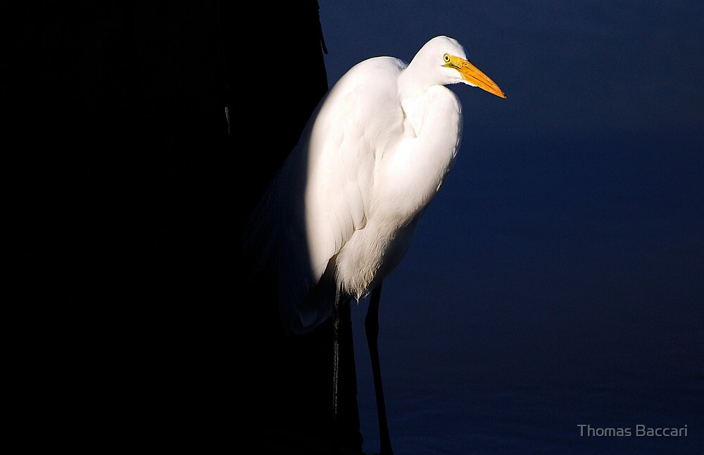 Egret Catching the Sun from the Shadows by TJ Baccari Photography