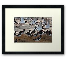 european oystercatchers brusting into flight Framed Print