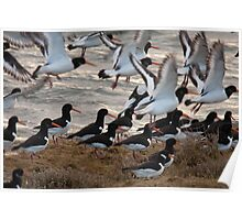 european oystercatchers brusting into flight Poster