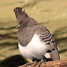 White Bellied Go-Away Bird by SuddenJim