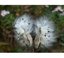 Milkweed, Steep Hollow Farm, Ithaca, NY Photographic Print