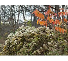 Weedy vine by the pond, and Sumac Photographic Print