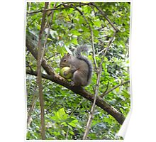 Squirrel with granny smith Poster