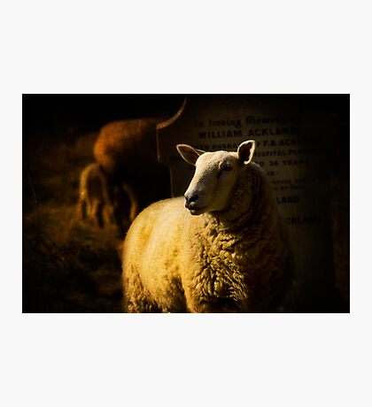 Graveside Sheep Photographic Print