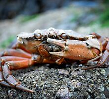 Crab at the beach - St.Andrews Scotland by Tristan Hopkins