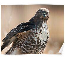 Portrait of a Hawk Poster