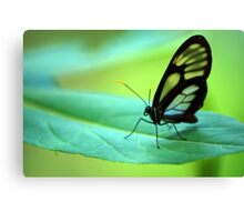 Glasswing Butterfly - Bolivia Canvas Print