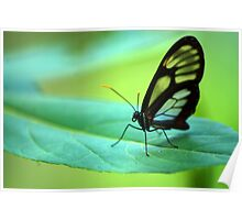 Glasswing Butterfly - Bolivia Poster