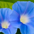 Pair of Blue Morning Glories by Oscar Gutierrez