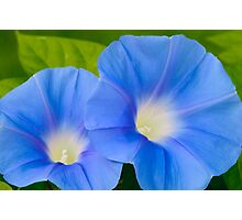 Pair of Blue Morning Glories Photographic Print