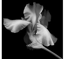 Elegant Bearded Iris Photographic Print