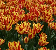 Red & Yellow Tullips, Botanica, Wichita by mkdesigns