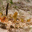Helmet Gurnard, Bootless Bay, Papua New Guinea by Erik Schlogl