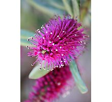 Hebe in flower Photographic Print