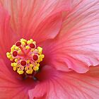 Pink Hibiscus #2 by Orest Macina