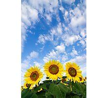 Three Sunflowers Photographic Print