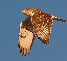 0104111 Ferruginous Hawk by Marvin Collins