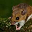 White-footed Mouse Praying  by Robert Miesner
