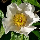 "Rosa Rugosa ""Alba"" by johnrf"