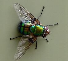 Green Parasitic Fly - Rutilia species by Trish Meyer