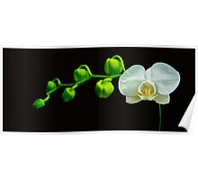 White Orchid with Buds Poster