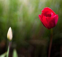 Red Tulip & Bud by Mark German