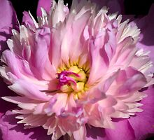 Pink Peony Art by Christina Rollo