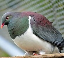 Wood Pigeon At The Te Anau Wildlife Centre. South Island, New Zealand. by Ralph de Zilva