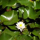 Water lily by AmandaWitt
