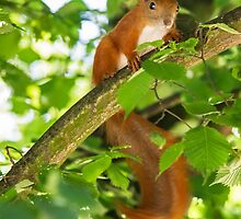 Red Squirrel by Dominika Aniola