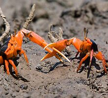 Arm wrestling: two fiddler crabs by Keith McGuinness
