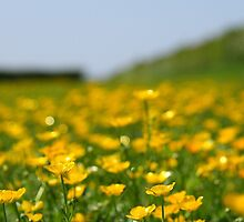 Buttercups in the field by JHMimaging