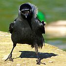 Jackdaw by Trevor Kersley