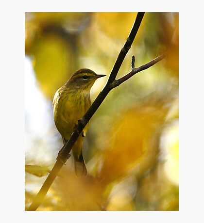 Palm Warbler Photographic Print