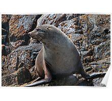 Australian Fur Seal 2 Poster