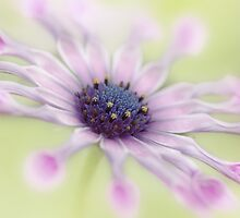 Osteospermum Whirligig by MartinWilliams