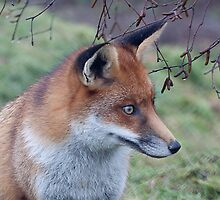 Fox by Gill Langridge